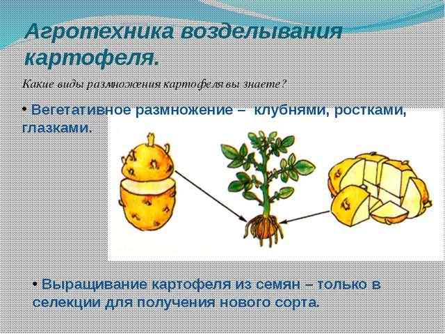 Агротехника возделывания картофеля. Какие виды размножения картофеля вы знает...