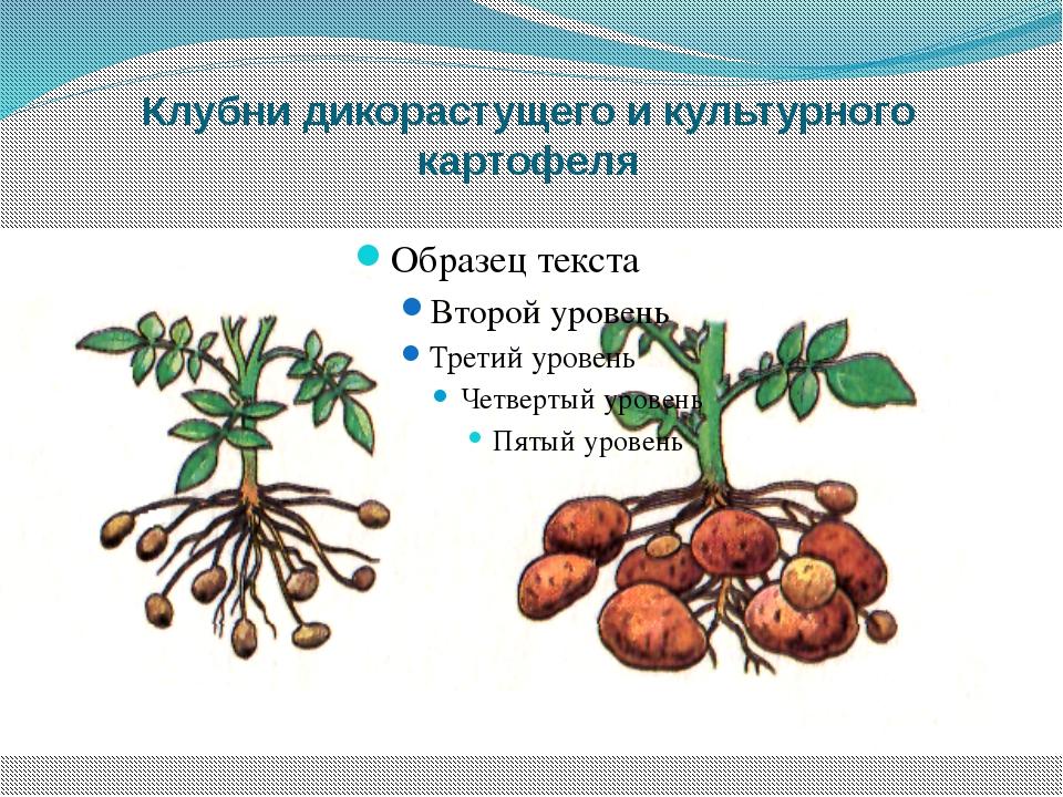 Клубни дикорастущего и культурного картофеля