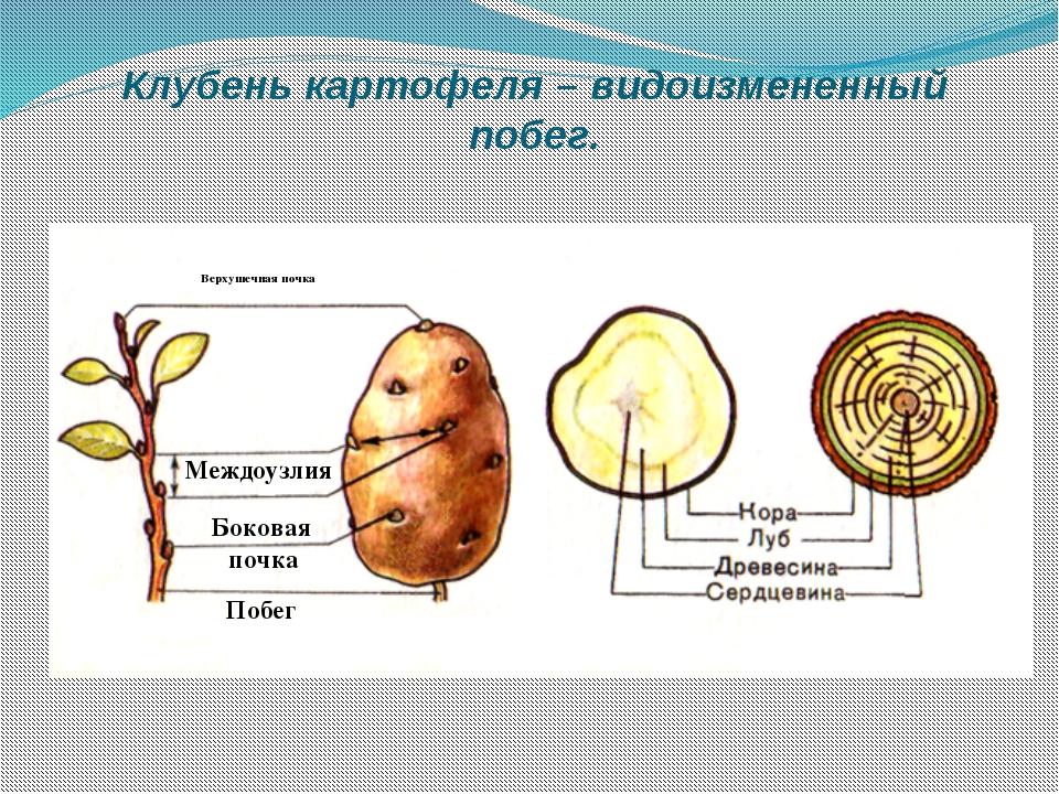 Клубень картофеля – видоизмененный побег. Верхушечная почка Междоузлия Бокова...
