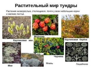 Растительный мир тундры РАСТИТЕЛЬНЫЙ МИР ТУНДРЫ Растения низкорослые, стелющи