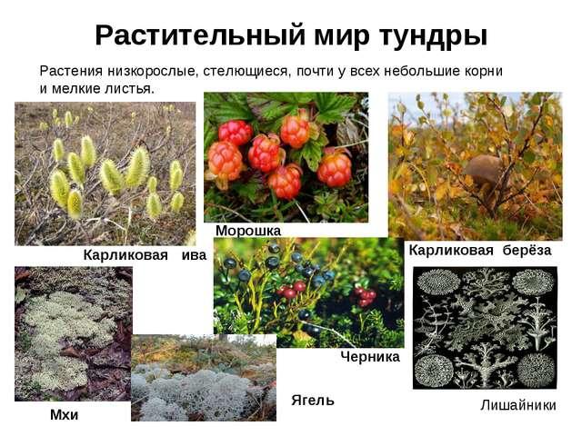 Растительный мир тундры РАСТИТЕЛЬНЫЙ МИР ТУНДРЫ Растения низкорослые, стелющи...