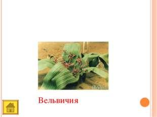 Это растение встречается только в пустыне Намиб. Похоже на вазу для цветов.
