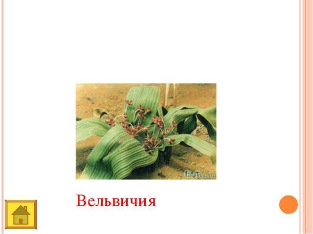Это растение встречается только в пустыне Намиб. Похоже на вазу для цветов....