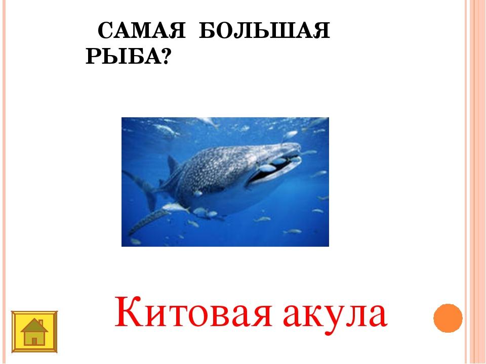 САМАЯ БОЛЬШАЯ РЫБА? Китовая акула