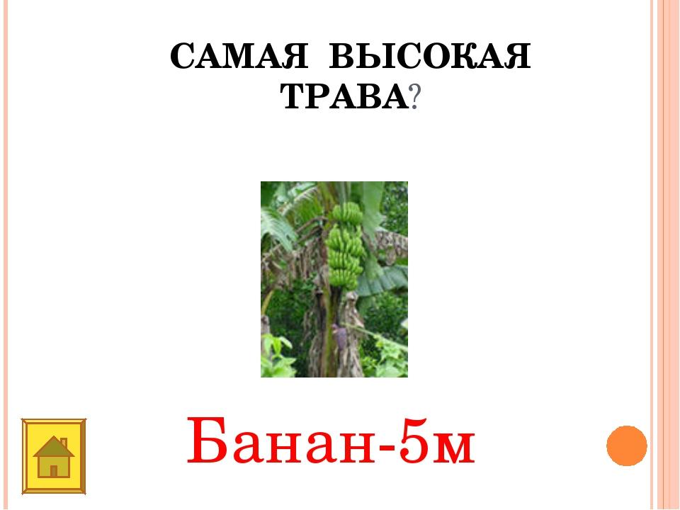САМАЯ ВЫСОКАЯ ТРАВА? Банан-5м