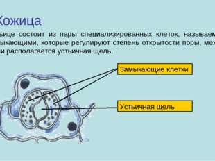 Кожица Устьице состоит из пары специализированных клеток, называемых замыкающ