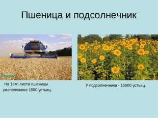 Пшеница и подсолнечник На 1см2 листа пшеницы расположено 1500 устьиц. У подсо