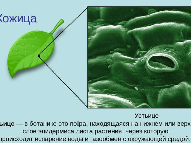 ухода у какого из организмов отсутствует устьица волокна полиамида отвечают