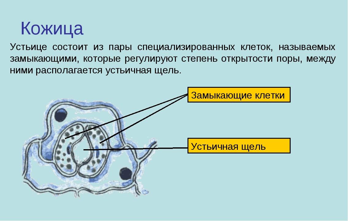 Кожица Устьице состоит из пары специализированных клеток, называемых замыкающ...