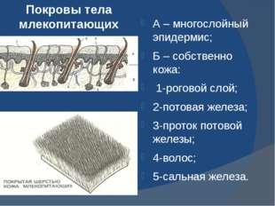 Покровы тела млекопитающих А – многослойный эпидермис; Б – собственно кожа: 1