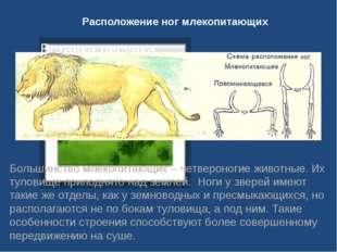 Расположение ног млекопитающих Большинство млекопитающих – четвероногие живот