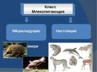 Класс Млекопитающие Яйцекладущие Настоящие Первозвери звери