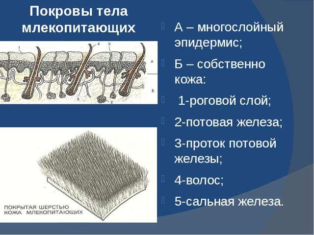 Покровы тела млекопитающих А – многослойный эпидермис; Б – собственно кожа: 1...
