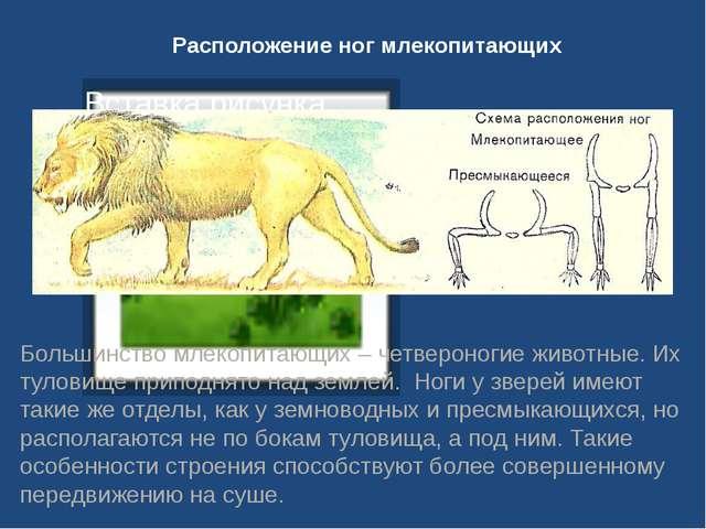 Расположение ног млекопитающих Большинство млекопитающих – четвероногие живот...