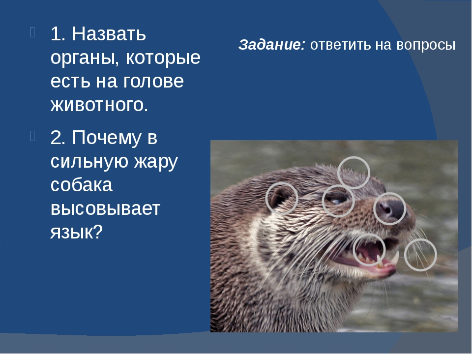 Задание: ответить на вопросы 1. Назвать органы, которые есть на голове животн...