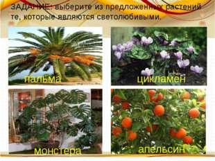 цикламен пальма монстера апельсин ЗАДАНИЕ: выберите из предложенных растений