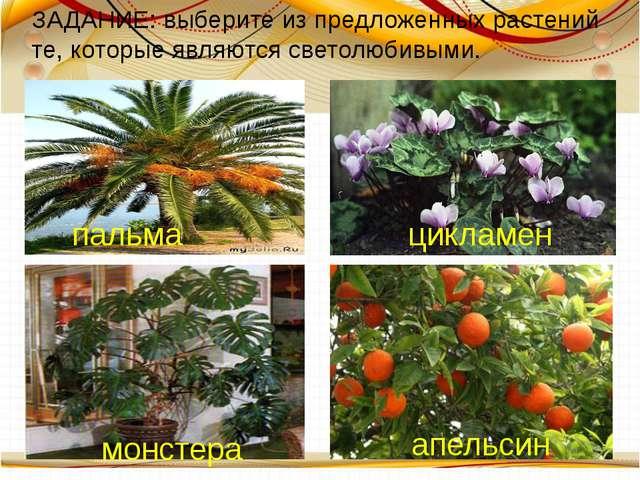 цикламен пальма монстера апельсин ЗАДАНИЕ: выберите из предложенных растений...