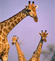 жираф1