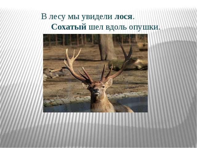 В лесу мы увидели лося. Сохатый шел вдоль опушки.