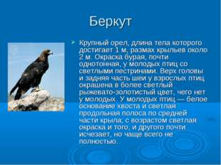 Беркут Крупный орел, длина тела которого достигает 1 м, размах крыльев около