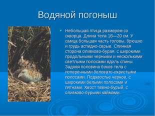 Водяной погоныш Небольшая птица размером со скворца. Длина тела 18—20 см. У с