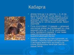 Кабарга Длина тела до 1 м, хвоста — 4—6 см, высота в холке до 70 см; масса —