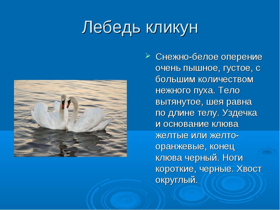 Лебедь кликун Снежно-белое оперение очень пышное, густое, с большим количеств...