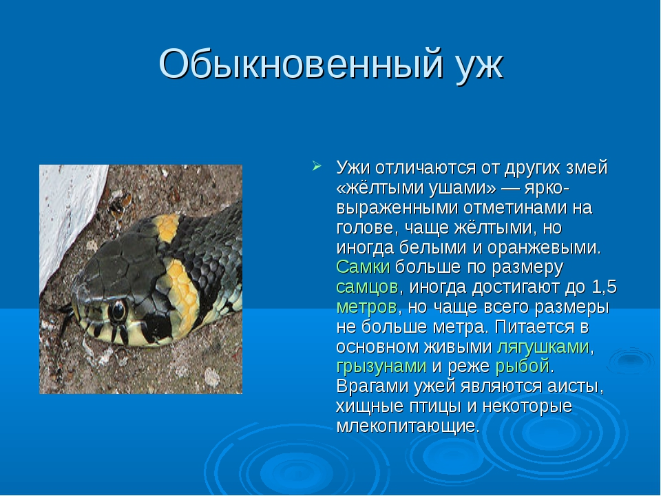 Обыкновенный уж Ужи отличаются от других змей «жёлтыми ушами» — ярко-выраженн...