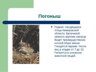 Погоныш Редкая, гнездящаяся птица Кемеровской области. Величиной немного круп