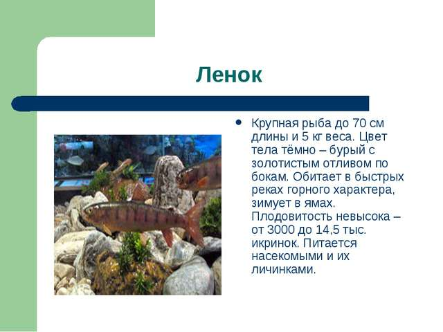 Ленок Крупная рыба до 70 см длины и 5 кг веса. Цвет тела тёмно – бурый с золо...