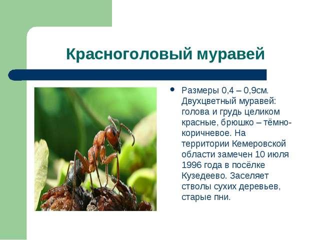 Красноголовый муравей Размеры 0,4 – 0,9см. Двухцветный муравей: голова и груд...
