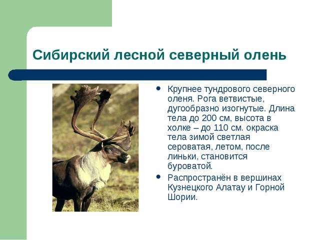 Сибирский лесной северный олень Крупнее тундрового северного оленя. Рога ветв...