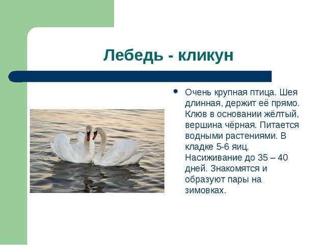 Лебедь - кликун Очень крупная птица. Шея длинная, держит её прямо. Клюв в осн...
