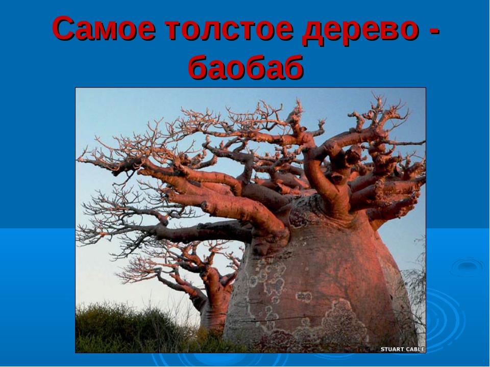 Самое толстое дерево - баобаб