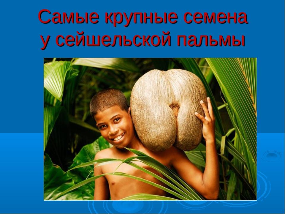 Самые крупные семена у сейшельской пальмы