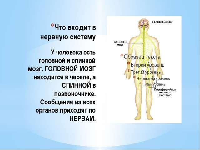 Что входит в нервную систему У человека есть головной и спинной мозг. ГОЛОВНО...