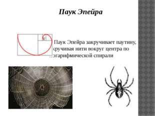 Паук Эпейра  Паук Эпейра закручивает паутину, скручивая нити вокруг центр