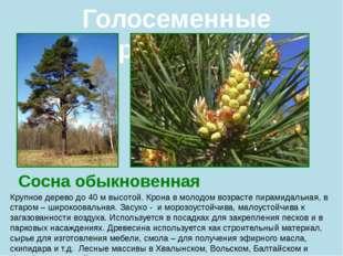 Голосеменные растения Сосна обыкновенная Крупное дерево до 40 м высотой. Крон