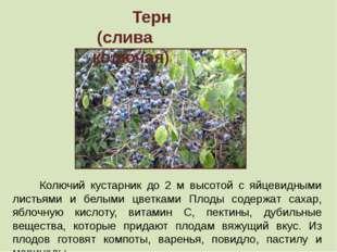 Терн (слива колючая) Колючий кустарник до 2 м высотой с яйцевидными листьями