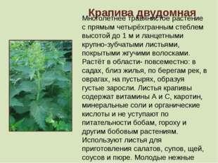 Крапива двудомная Многолетнее травянистое растение с прямым четырёхгранным ст
