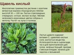 Щавель кислый Многолетнее травянистое растение с коротким ветвистым корнем и