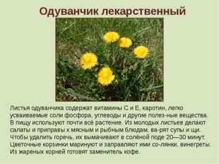 Одуванчик лекарственный Листья одуванчика содержат витамины С и Е, каротин, л