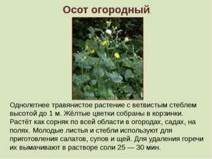 Осот огородный. Однолетнее травянистое растение с ветвистым стеблем высотой