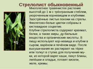 Стрелолист обыкновенный Многолетнее травянистое растение высотой до 1 м с трё