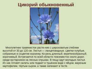 Цикорий обыкновенный Многолетнее травянистое растение с шероховатым стеблем