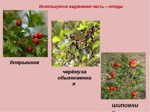 Используется надземная часть —плоды шиповник черёмуха обыкновенная боярышник