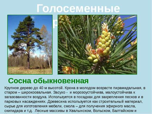Голосеменные растения Сосна обыкновенная Крупное дерево до 40 м высотой. Крон...