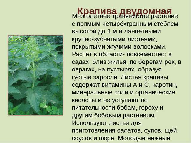 Крапива двудомная Многолетнее травянистое растение с прямым четырёхгранным ст...