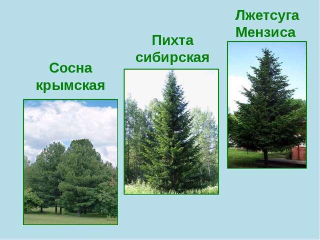 Сосна крымская Пихта сибирская Лжетсуга Мензиса