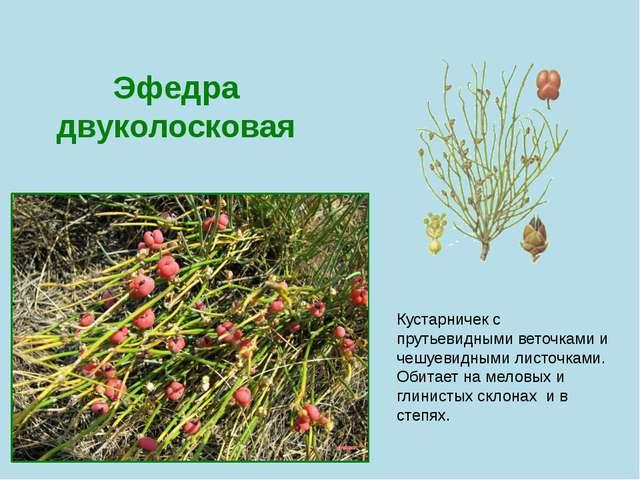 Эфедра двуколосковая Кустарничек с прутьевидными веточками и чешуевидными лис...